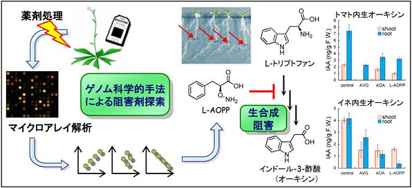 オーキシン生合成阻害剤の探索